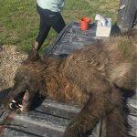 Montana Wolf